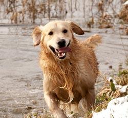 Домашние животные собака реферат 2686